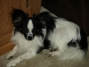 Papillon, 91/2 months, Black/White/tinge of brown