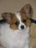 Papillon, 4 years old, White and sable