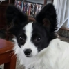 Papillon, 1Yr, Black/White