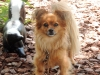 Papillon, 3, ginger brown
