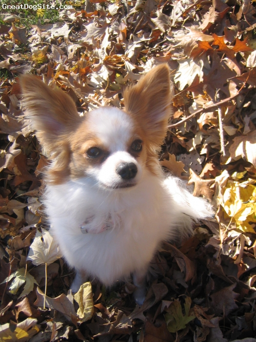 Papillon, 3, White and Brown, Sophie is a great dog, she is very loving and a great companion.