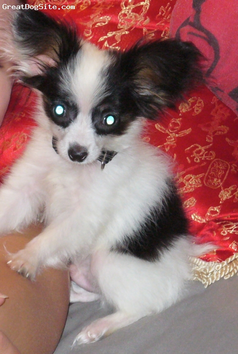 Papillon, 8 months, black/white/tan, 5 months old