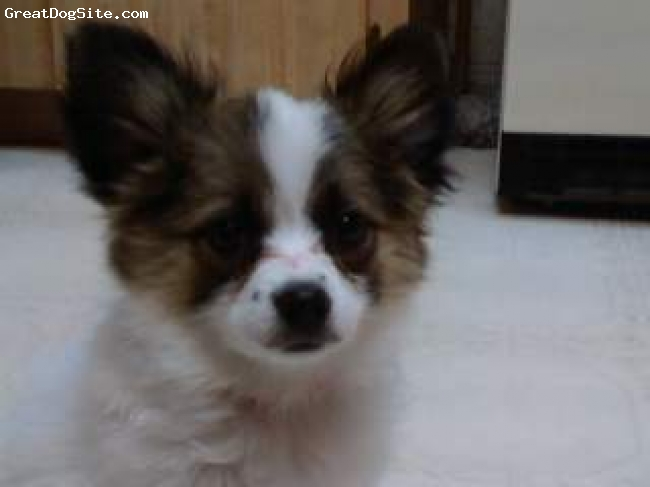 Papillon, 4 months, white,tan,brown, Jodie is now 7 months old. She is very energetic and very smart. She potty trained extremely easy and only had 1 accident on the tile. This picture was taken of her when she was first brought home.