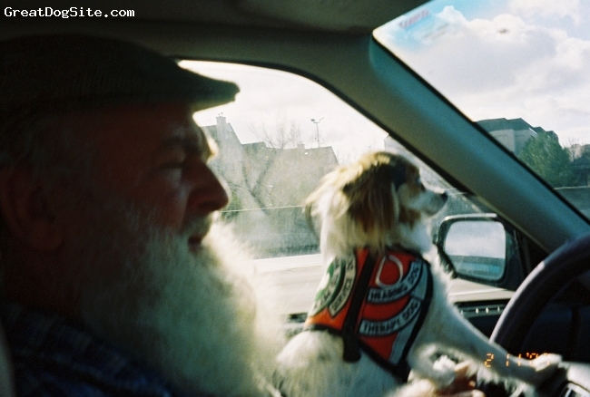 Papillon, 4yrs., tri color, BONNEY LIKES TO HELP DRIVE, SHE DOES NOT BOUNCE AROUND IN THE CAR.