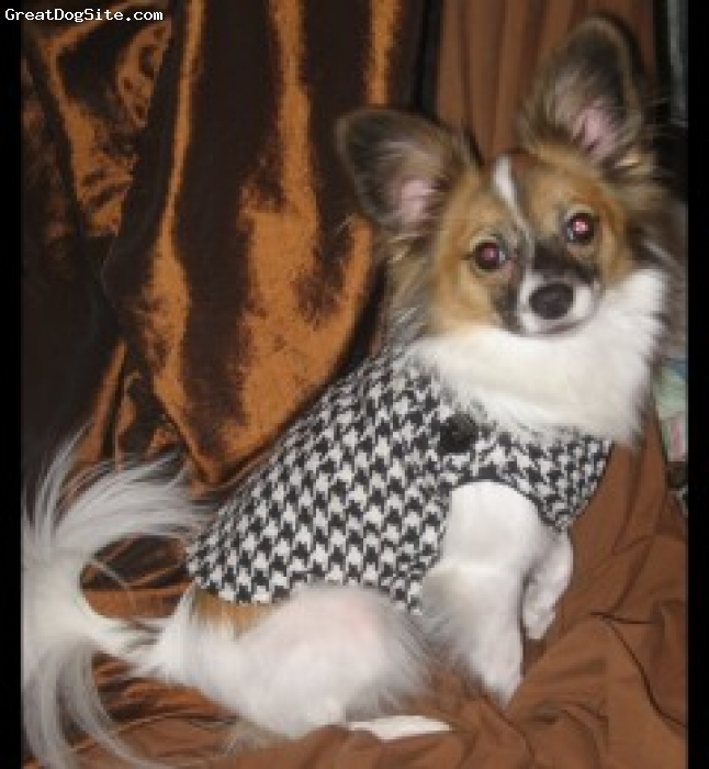 Papillon, 2 years, Tri, Isabelle LOVES dressing up!  She's now 3 years old.  She was extremely easy to potty train although we still have a few accidents of excitement.  She's very protective and extremely smart; always comes when she's called, and loves to play.