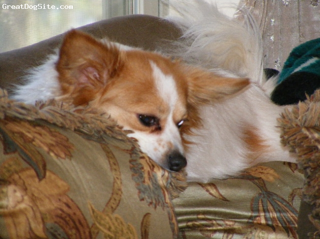 Papillon, 4, orange& white, a fun loving puppy at heart smart and loves to get in to every thing rest in peace my baby girl  6/04/04 to 12/19/08