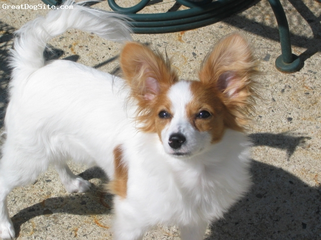 Papillon, 6months, White & Sable, Cookie has changed our lives! She is the most adorable, funniest, playful, ( I can go on and on) loving pup in the world.  Pretty soon she'll be a Harley Biker Pup!