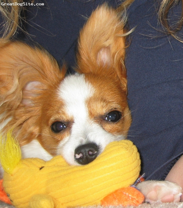 Papillon, 6months, White & Sable, Cookies latest toy addition. Think were over 100 now.