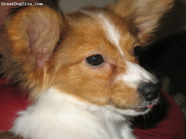 Papillon, 2 Months November 2008, Tri, Sweet and Lovable