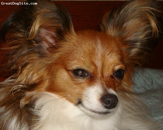 """Papillon, Various, Various, Sunny Central Florida is home to Sunshine Papillons. Sunshine Papillons was started in December of 2000, with our very first Papillon, """"Haley"""". Our dogs are all very friendly, making them the PERFECT family pet. They are not kennel dogs, but are raised inside and underfoot with children and other pets! Our Papillons live in the house, and sleep on the couch and in our beds. Each of our dogs is well loved, well cared for, well socialized, and very much a part of our lives. They are raised with love...for you to love! """"Life with a Butterfly Dog"""" Papillons are a canine """"Jack-Of-All-Trades"""". They shine at everything they do, and are a pure joy to own and have around. They will live in harmony with all the members of the family, both two-legged and four! A highly intelligent breed, the Papillon is a dog that LOVES to learn and is easy to teach. Papillons are number two on the all-breed list.  CALL FOR INFO: 407-696-9903 Home 407-463-4878 Cell."""