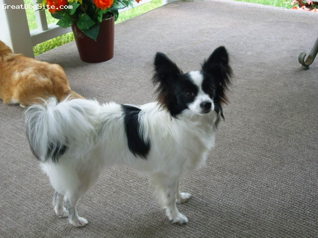Papillon, 9 months, black and white, She is a wonderful dog so mild mannered about 6lbs