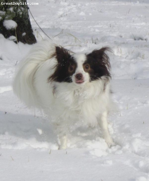 Papillon, 3 years, dark brown/white, We live in southern VA and it rarely snows!  This year we got an inch and Gipper loved it!