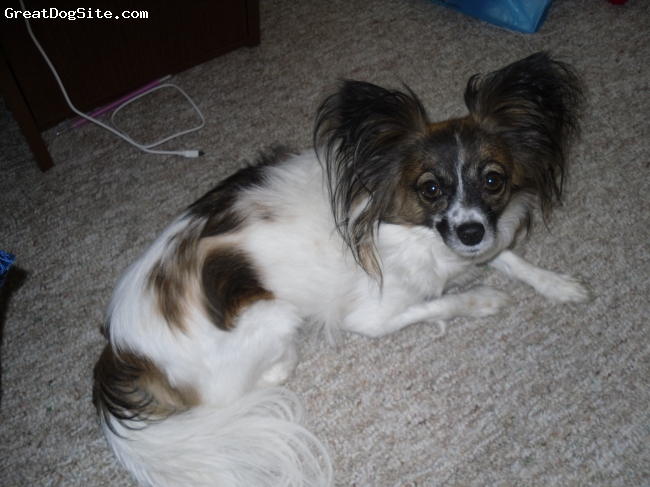Papillon, 6, WHITE/BROWN/BLACK, She's the sweetest dog in the world!