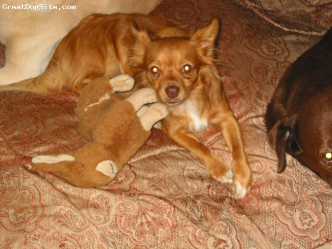 Papillon, 1 yr., Foxy Brown, Beautiful very protective...Not for sale just want to show him off.
