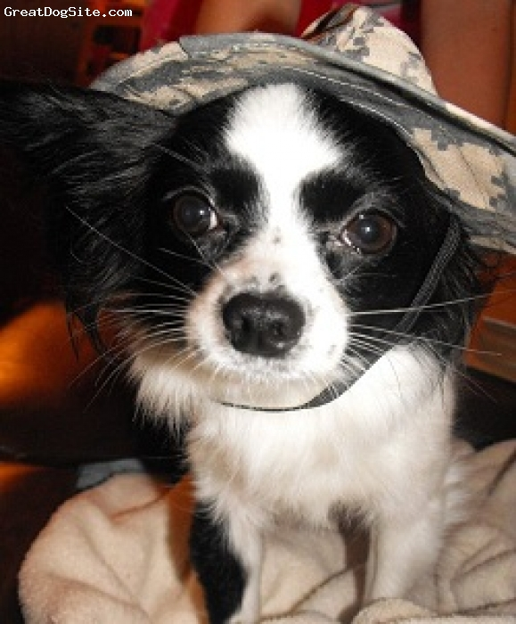 """Papillon, 1 1/2, Black and White, Shwaya means """"tiny one"""" in Arabic. My husband was deployed to Iraq and learned Arabic. We got her for me while he was over seas to keep me company. She is GREAT company! She's smart and so funny. She has a ton of personality. She's just like a little baby. She never leaves my side. I love her so much. Im so glad we decided to get a Papillon. In the picture she is wearing a little Army boonie cap that my husband sent from Iraq.  -Kacey"""