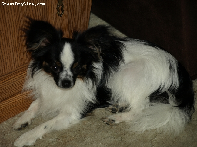 """Papillon, 91/2 months, Black/White/tinge of brown, Tommie is a rescue pup. I am sure he is pure bred. He looked so sad on the internet """"Wasatch Rescue"""" in Salt Lake City. I adopted him June 2010. He has gained 3lbs and is gorgeous. HIs fur is coming along beautifully and he is totally housebroke now."""