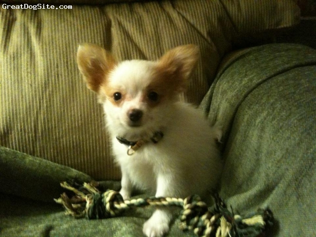 Papillon, 9 weeks, sable/white, The light of our lives! What a joy he is!