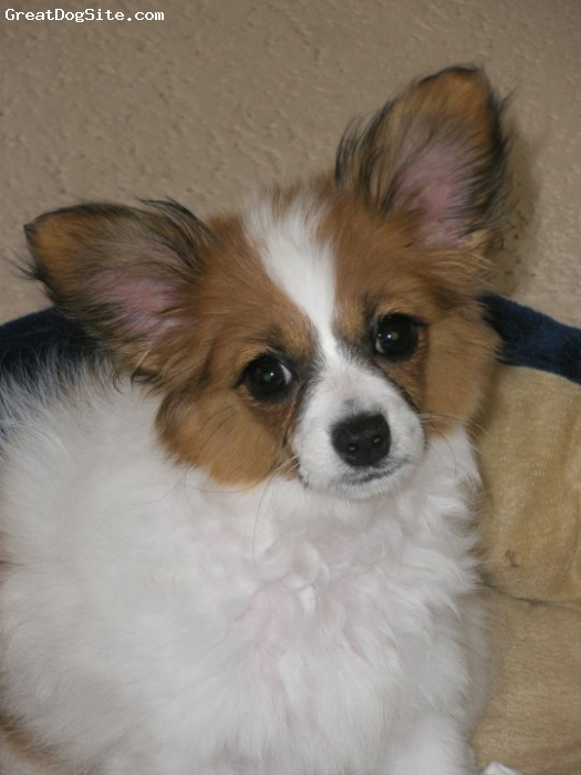 Papillon, 4 years old, White and sable, This is her baby picture - she has quite a personality!