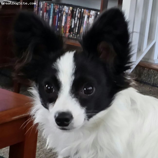 Papillon, 1Yr, Black/White, Skeeter is Pixie's (see Paperinian) boyfriend. They love country living, very affectionate. Good Chicken wranglers, helping us raise the flock.