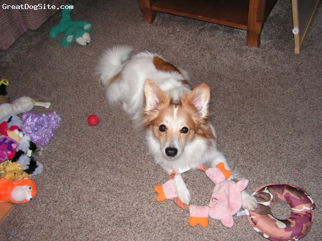 Papimo, 1 yr, white & tan, Kinsey is a delight, having quite the personality.