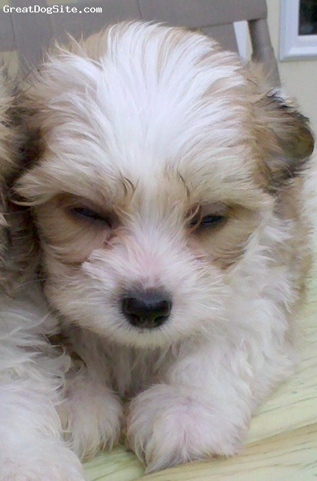 Papitese, under a year, white with brown markings, We will be getting gizmo soon we can't wait