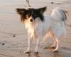 Papshund, 10 monthe, tri