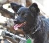 Papshund, 8 months, Black/White