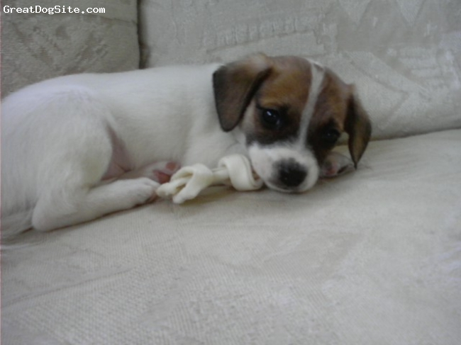 Papshund, 5 weeks, white and brown w/ some black, ball of cuddles, sweet, adorable, playful