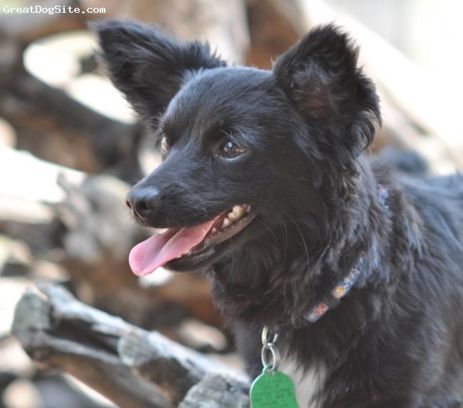 Papshund, 8 months, Black/White, Duke is a Papillon / Dachshund Wire hair mix.