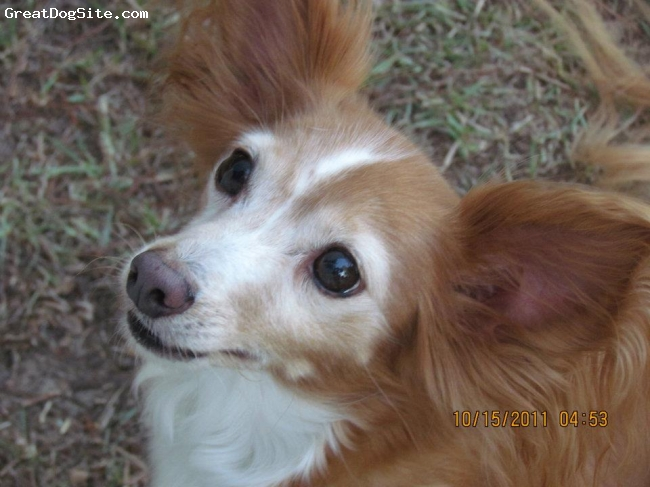 """Papshund, 10yrs, red/white, Sunny is a 10yrold Papillon Service Dog. He rescued in 2004. He is 10lbs and 11"""" at the shoulder. Want one like him? Contact Pap911 Rescue as he is very Papillon in looks and smarts."""