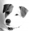Parson Russell Terrier, 5, Tan/White