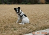Parson Russell Terrier, App. 3 yrs, Black/white