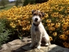 Parson Russell Terrier, 7 months, Tri-color