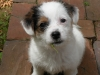 Parson Russell Terrier, 3 months, Tri