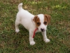 Parson Russell Terrier, 2 months, White