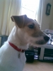 Parson Russell Terrier, 1 year, White and Tan