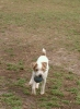 Parson Russell Terrier, 1-2 yrs, White and brown (auburn)