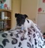 Parson Russell Terrier, 2 yrs, Black and White