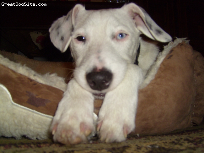 Parson Russell Terrier, 2 Years Old, All White w/ Black Spots, Casper after he had leg surgery. Jumped off the bed and broke his leg...poor thing! >> He was a little drugged up