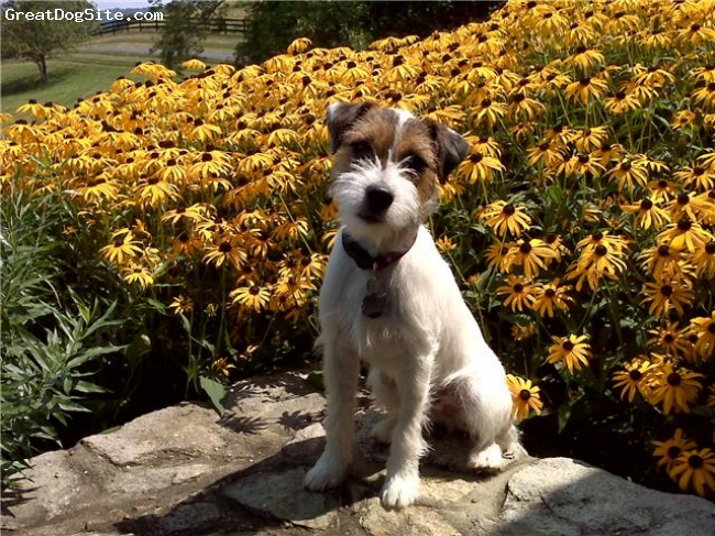 Parson Russell Terrier, 7 months, Tri-color, This is a photo of Magnus at a farm in Middleburg, VA.