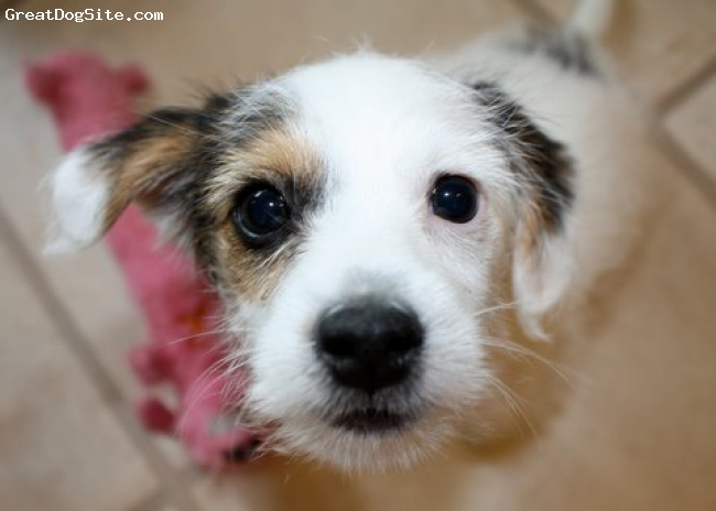 Parson Russell Terrier, 6mo, Tri, All grown up!