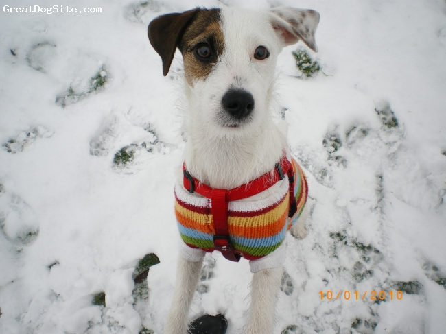 Parson Russell Terrier, 9 months, white, my everything...