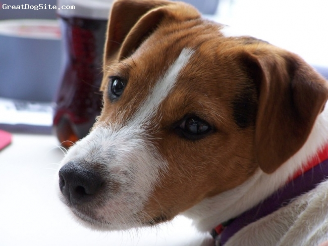 Parson Russell Terrier, 4 months, Tri, Parson Russell Terrier Puppy