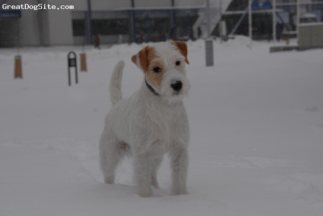 Parson Russell Terrier, 18 months, white tan, Hello, I'm Incognito
