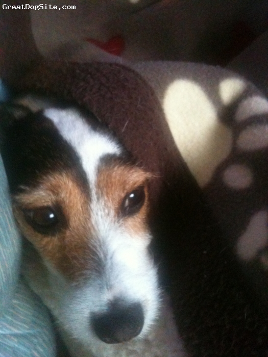 Parson Russell Terrier, 6, Tri-colour, Her name says its all !