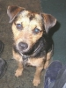 Patterdale Terrier, 1, Black and Tan