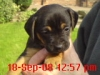 Patterdale Terrier, 5 weeks, Black and Tan
