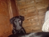 Patterdale Terrier, 1 yr, black