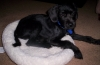 Patterdale Terrier, 1, Black