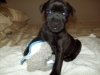 Patterdale Terrier, 5months, black